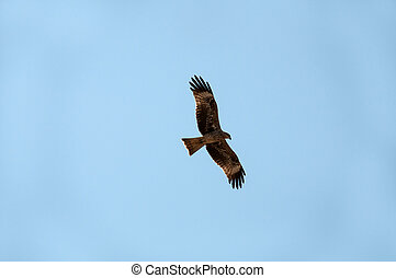 A bird of prey with a strong bent beak soars with open wings in the blue sky.