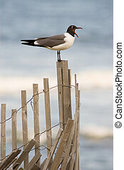 A seagull with it's mouth wide open perched on an erosion prevention fence at the beach