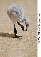 Adorable Baby Flamingo Chick