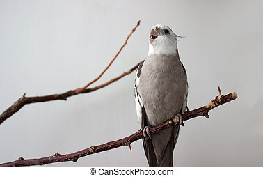 Angry white parrot with open beak on white background.