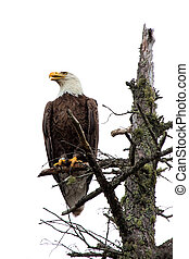 Bald Eagle Perched On Tree Top