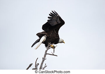 Bald Eagle sitting on old branch