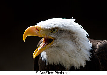 Bald Eagle looking to the left of frame with beak open during a call. On a black background. Copy space above.