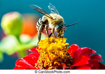 bee collecting nectar from a red flower with the Mediterranean in the background