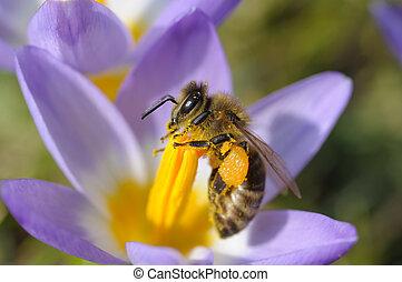 Bee collecting nectar on purple crocus flower