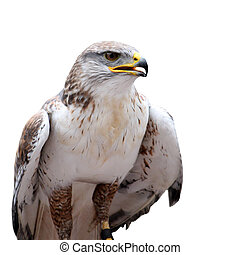 hawk with open beak on the white background