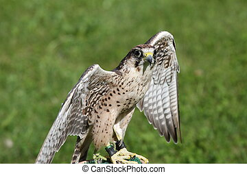 big Peregrine Falcon with outstretched wings ready for flight