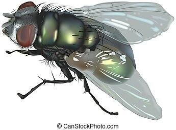 Blow fly (Calliphoridae Family) - High detailed illustration