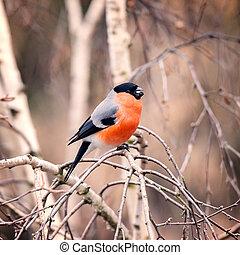 Bullfinch on the tree branch.