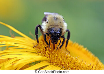 A bumblebee sucks some nectar from a flower.