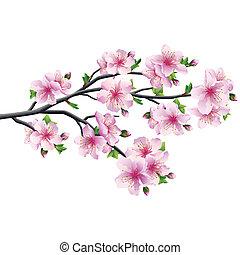 Cherry blossom, japanese tree sakura
