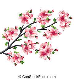 Cherry blossoms branch, Japanese tree sakura
