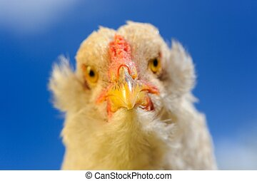 Chicken Close-Up Against Blue Sky
