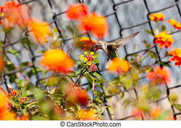 Colibri tiny little bird fly, eat over red flower