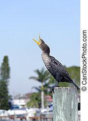 Cormorant with Beak Wide Open