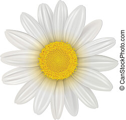 Daisy, chamomile flower isolated, vector.