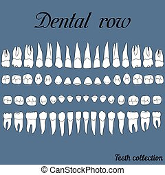 anatomically correct teeth - incisor, cuspid, premolar, molar upper and lower jaw front and top views in vector on white