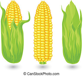 Ears of ripe corn, agricultural, reaped crop, illustration