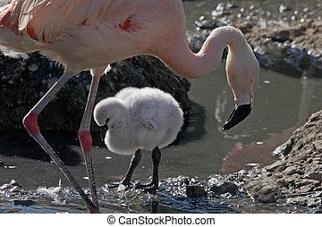 Female Flamingo and chick