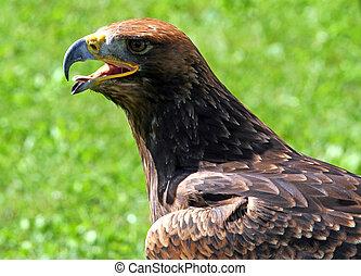Tawny Eagle with open beak