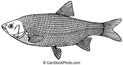 Fish Ide (orfe)