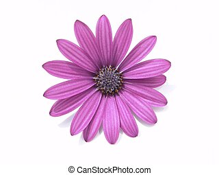 Design Element: Purple flower head, Spanish Marguerite, Osteospermum