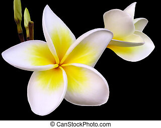 Tropical frangipani flower on black background.