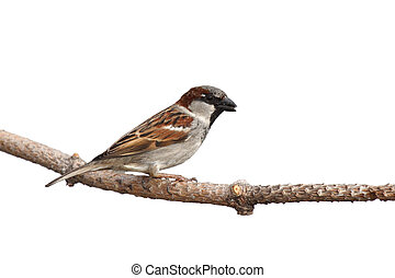 full profile of sparrow holding a sunflower seed in its beak; white background