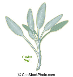 Sage, perennial garden herb, aromatic gray-green leaves used in cooking meats, poultry and stuffing. Medicinal use. See other herbs and spices in this series.