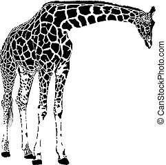 giraffe - vector graphics isolated on white background