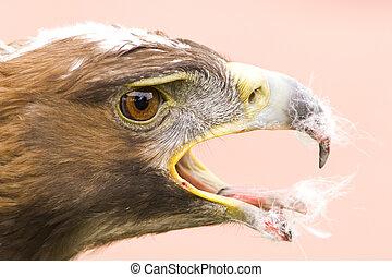 Golden eagle feed