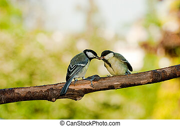 Couple of great tits birds feeding in springtime