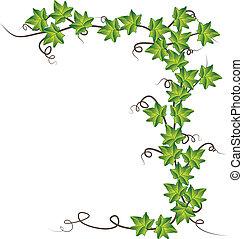Green ivy. Vector Illustration