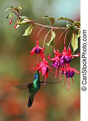 Green violetear, Colibri thalassinus, hovering next to red flower in garden, bird from mountain tropical forest, Colombia, natural habitat, beautiful hummingbird, colourful background