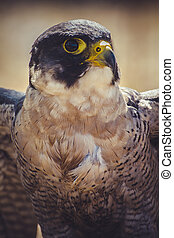 hawk, peregrine falcon with open wings , bird of high speed