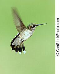 Female Ruby Throated Hummingbird Hovering