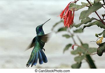 A colibri photographed at the amazon region near the napo river