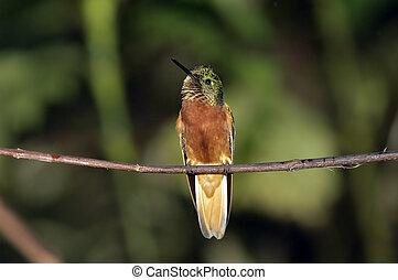 Humming Bird / Colibri