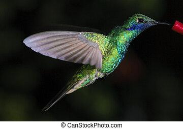 Colorful colibris at the amazon region