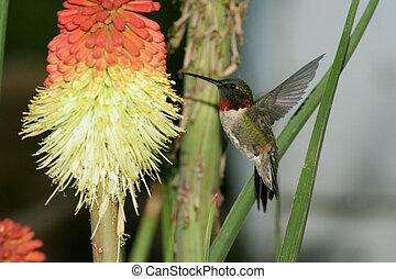 Humming Bird humming at yellow red flower