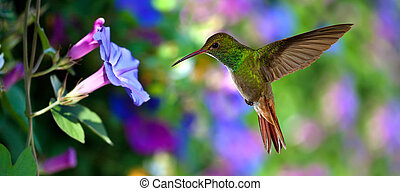 Hummingbird (archilochus colubris) in flight with tropical flowers on colorful background