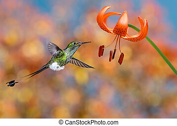 Hummingbird booted racket-tail feeding nectar from tiger lily