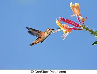 Humming bird in fly