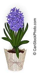 Hyacinth flower in flowerpot