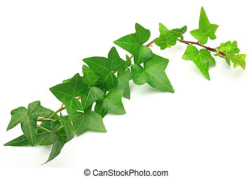 I took ivy in a white background.