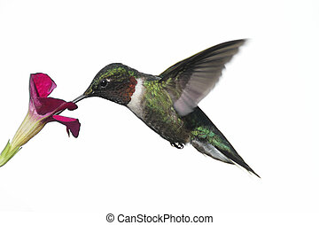 Male Ruby-throated Hummingbird (archilochus colubris) in flight with a flower isolated on a white background