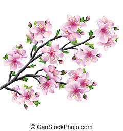 Japanese tree sakura, cherry blossom isolated