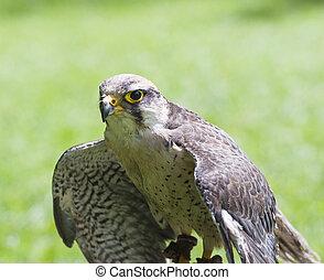 Lanner falcon bird of prey