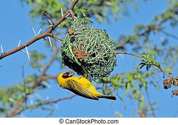 Male Southern Masked Weaver building nest