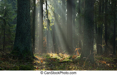 Misty autumnal coniferous stand of Bialowieza Forest at sunrise